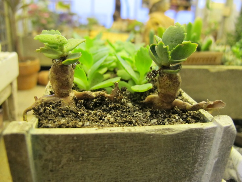 The baby Mandrakes are escaping!