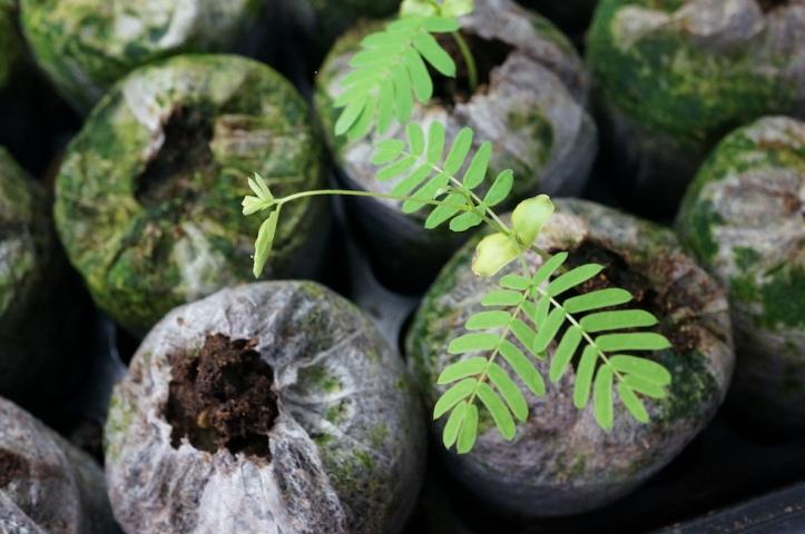 ALBIZIA: Chocolate Mimosa, turns red in bright sun