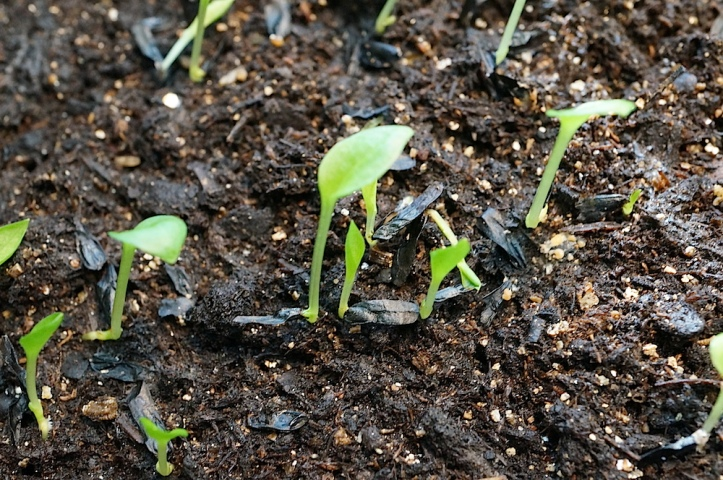 HOSTA SEEDS sprouting, from full size hostas in my yard. 6 weeks old.