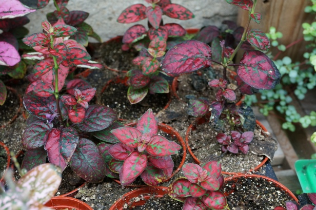 HYPOESTES, red only