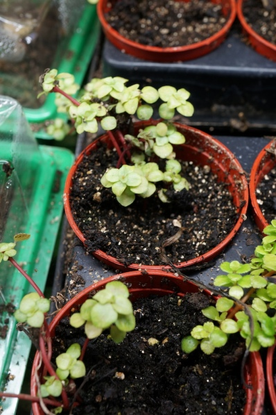 PILEA  with red stems and bright green leaves; may be a variation of PILEA GLAUCA but most of those have darker leaves.